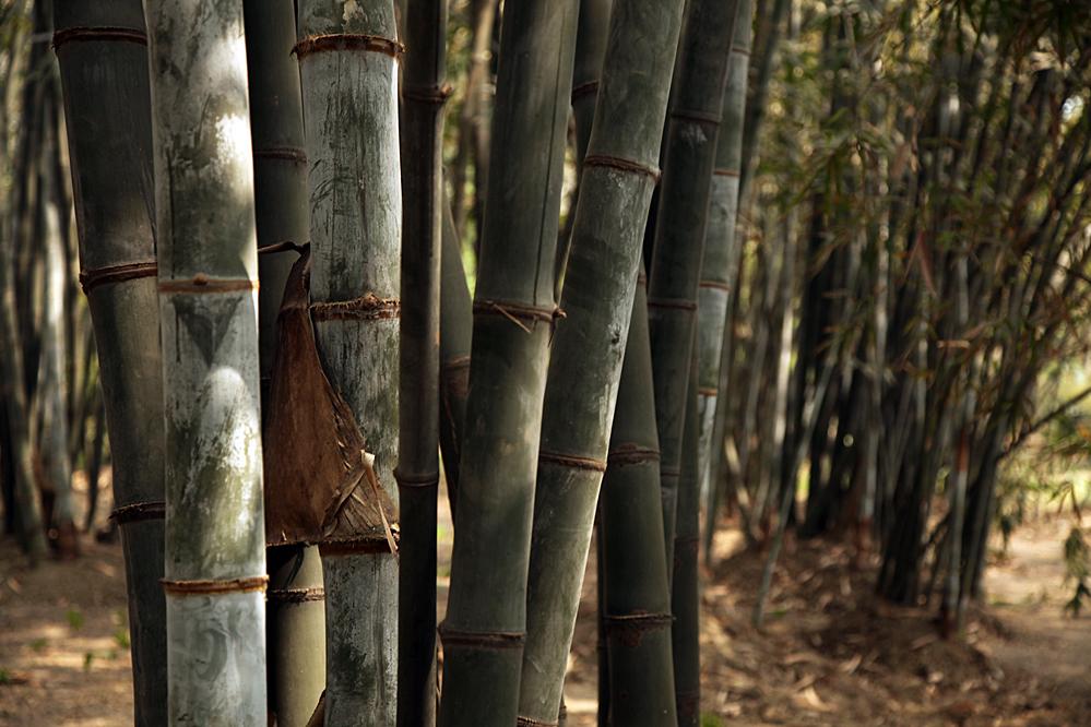 frische bambussprossen kaufen